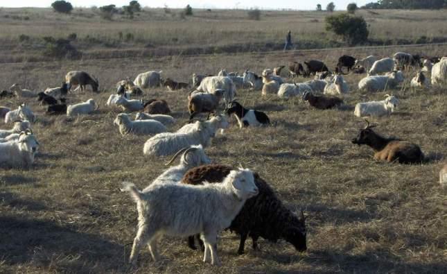 goats-036